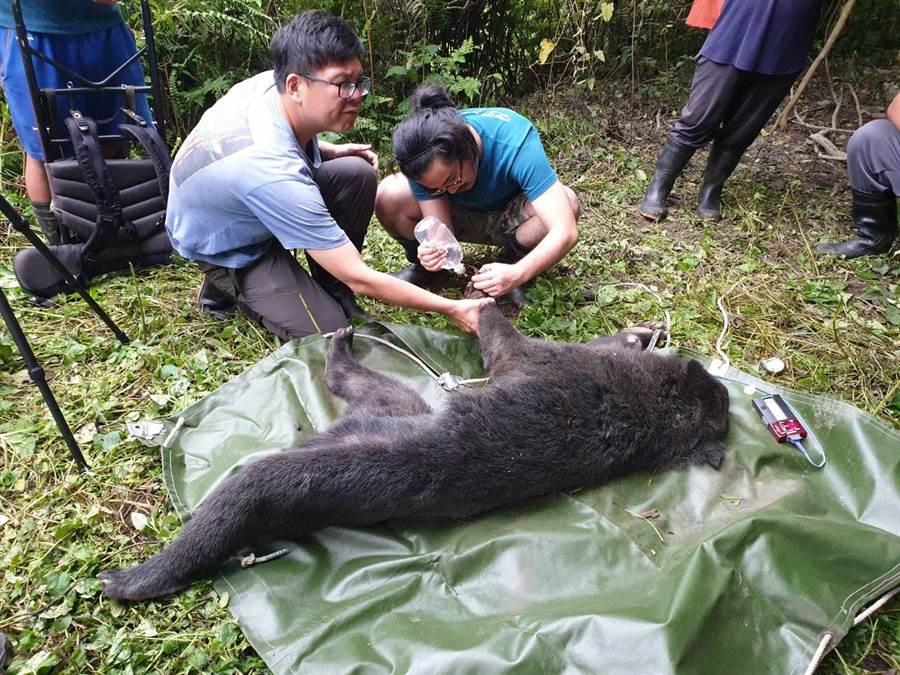人員為母熊清創傷口。(翻攝照片/楊漢聲台東傳真)
