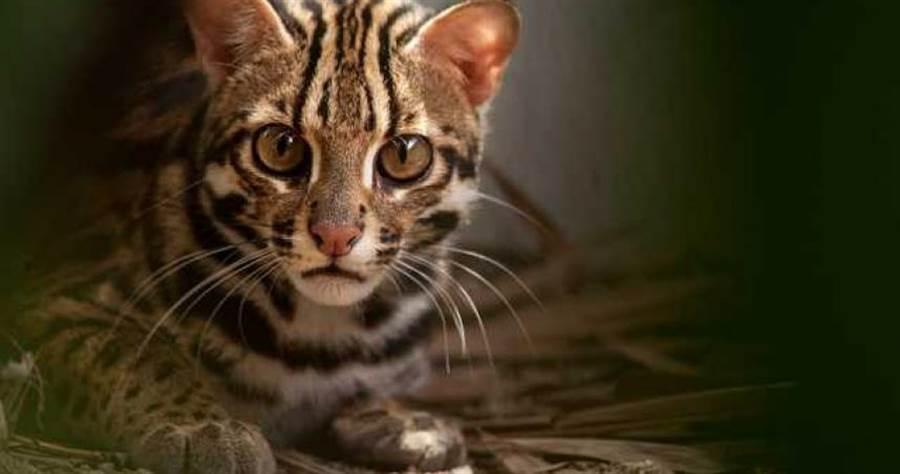 石虎在泰國是保育動物。(圖/shutterstock)