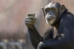 防疫虐待!動物園驚見黑猩猩戴口罩騎車消毒