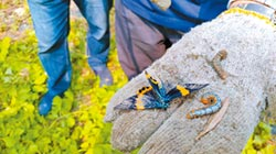 橙帶藍尺蛾啃光羅漢松 樹農抓不完 求助縣議員