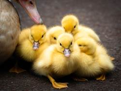 女將鴨蛋塞進奶 竟成功孵出小鴨