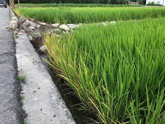 綠美化競賽竟噴除草劑 有機稻作魚池之殃