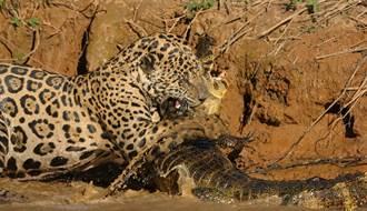 飢餓美洲豹盯上兇殘凱門鱷 水陸最強廝殺開打