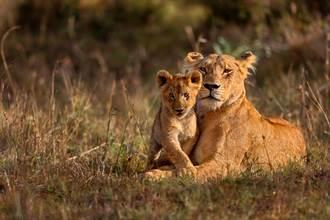 獅母子遇野犬群攻 勇敢激戰超驚險
