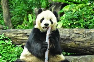 貓熊家族果真是老饕!「轎篙筍」放高高 也願爬樹嘗美味