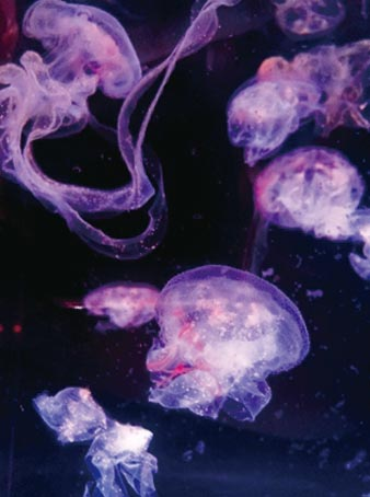 捕食獵物後的紫紋海刺水母,在捕食到獵物時,口腕會將獵物包覆住,當攝食完畢後,口腕就會恢復原本飄逸的模樣。圖/屏東海生館提供