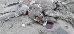 回不去大海!欖蠵龜滲血命喪台中海岸