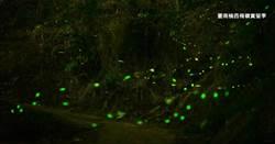 防疫期間免出門 梅嶺螢火蟲飛舞美景線上看