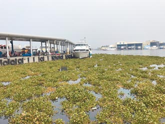 滿滿布袋蓮 東琉線碼頭現綠川奇景