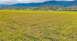 農作物也染傳染病?稻熱病攪局影響產量