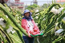 抗癌女青農 揮別電子業返鄉種無毒紅龍果