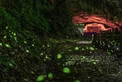 新竹縣螢火蟲熱季開始閃閃發光