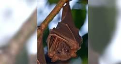 雲南蝙蝠病毒基因「高達96.2%相似」新冠病毒 當地居民3%有抗體