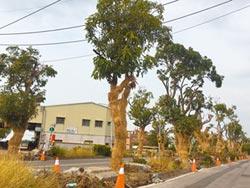 嘉縣府草擬護樹條例 79株路樹 900萬保活