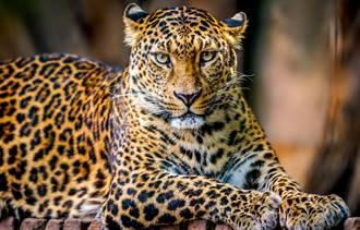 幼豹緊跟母豹過街 突腿軟下秒萌翻