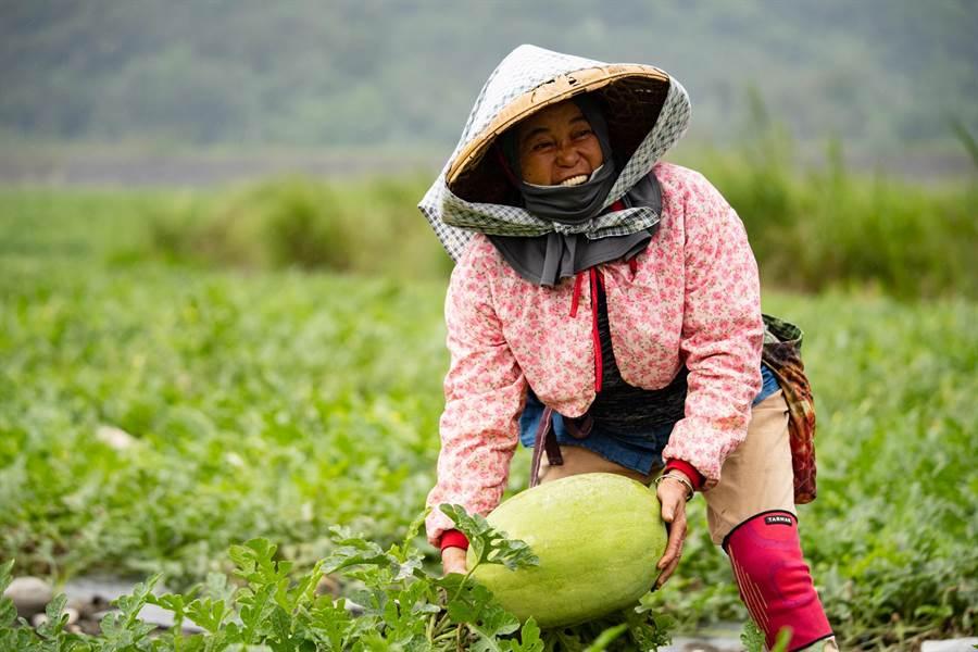 花蓮大西瓜經過了2個月左右的育成期,獲得了充足的「1200度溫度」,品質與口感上更是穩定。(花蓮縣政府提供)