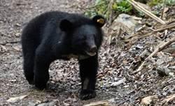 台東》獵捕訓練終極班 熊與羊的對決