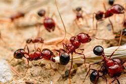 非洲神奇巫術 竟用螞蟻縫合傷口