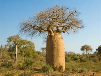 荒漠中的「大肚子樹」樹幹可儲2噸水