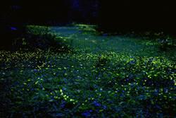 渡假村復育螢火蟲有成 三義賞螢面積再擴大