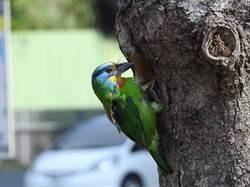 海科館喜見五色鳥築巢 遊客備感驚豔
