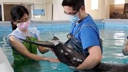 保育類糙齒海豚擱淺 八斗子漁港救護站緊急治療
