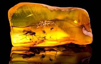蒼蠅交配到一半被琥珀定格 4千萬年神物專家驚
