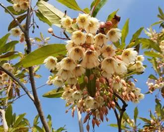 招蜂引蝶它最會 新生公園水石榕開花囉