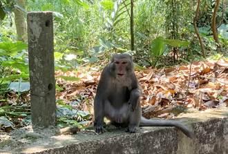 彰化的花果山美猴王來了 鼓山寺祕密基地群猴樂逍遙…