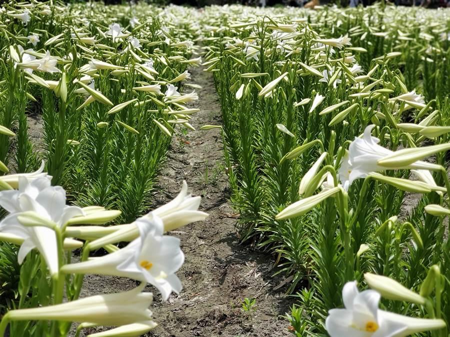 今年花期5月1日進入盛況,上萬朵鐵炮百合半含苞、半綻放,花田一片雪白。(周麗蘭攝)
