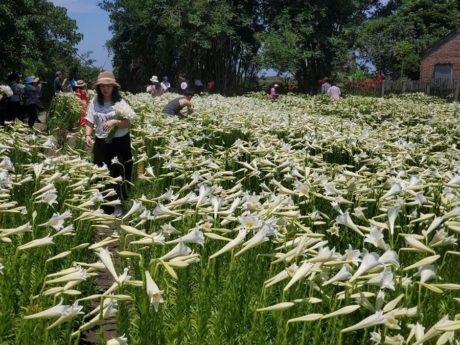 賞花請勿採花,遊客手上捧著的花束是向莫麗蘭現場購買。(周麗蘭攝)