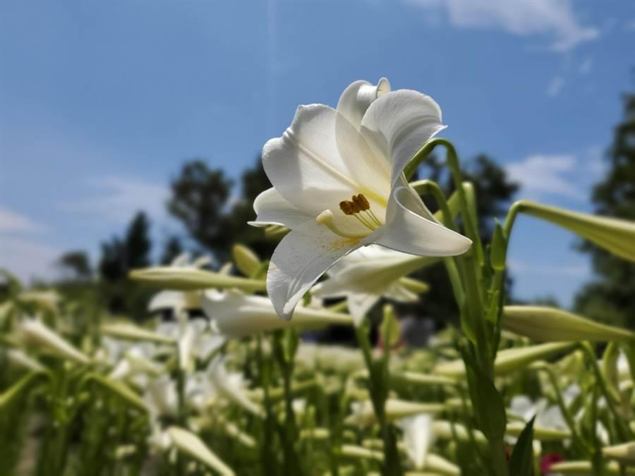 雪白的鐵炮百合是台灣原生種。(周麗蘭攝)