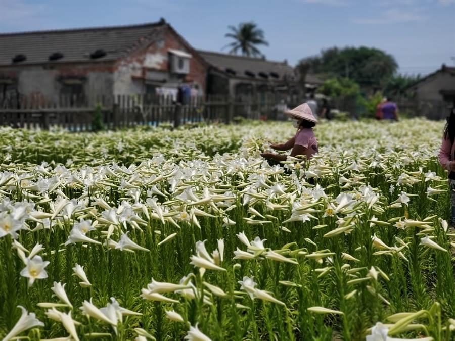 莫麗蘭有時出現在花田採割新鮮花朵,成為攝影師捕捉焦點。(周麗蘭攝)