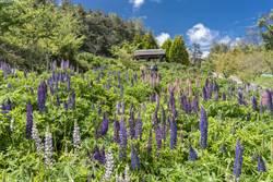 福壽山5月還能賞楓 彩色魯冰花也盛開