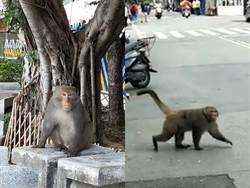 係金欸!北投捷運站驚見猴子逛大街