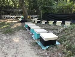 森林蜜不輸龍眼荔枝蜜 新化林場推廣桃花心木林採蜜