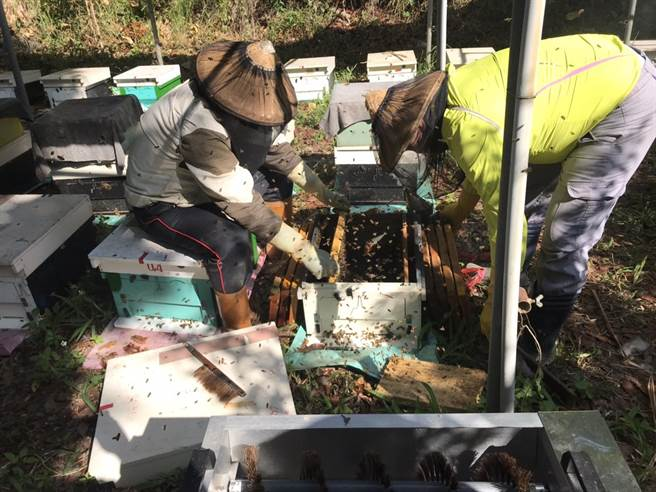 台南中興大學新化林場首度嘗試在桃花心木下養蜂。(中興大學新化林場提供/劉秀芬台南傳真)