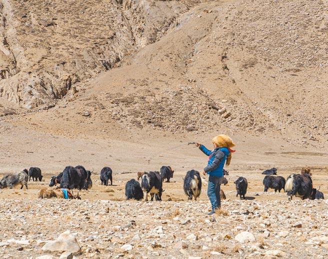 聖母峰下的牧民脫貧。日喀則市定日縣扎西宗鄉藏普村是離聖母峰最近的一個行政村,2019年這個村成立牧業合作社,為登山隊提供運輸用的氂牛,一年賺進30多萬人民幣。(新華社)