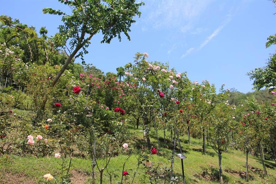 雅聞七里香玫瑰森林種有600多種來自世界各國品種的玫瑰,園區飄散玫瑰花香。(何冠嫻攝)