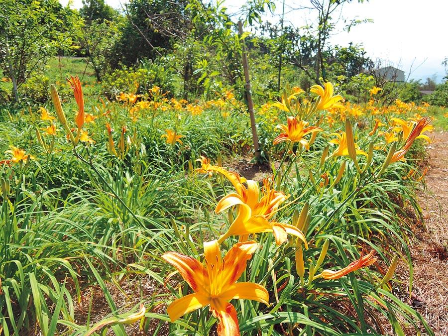 嘉義縣梅山鄉橫山屏休閒園區金針花,目前花開約3成。(張毓翎攝)
