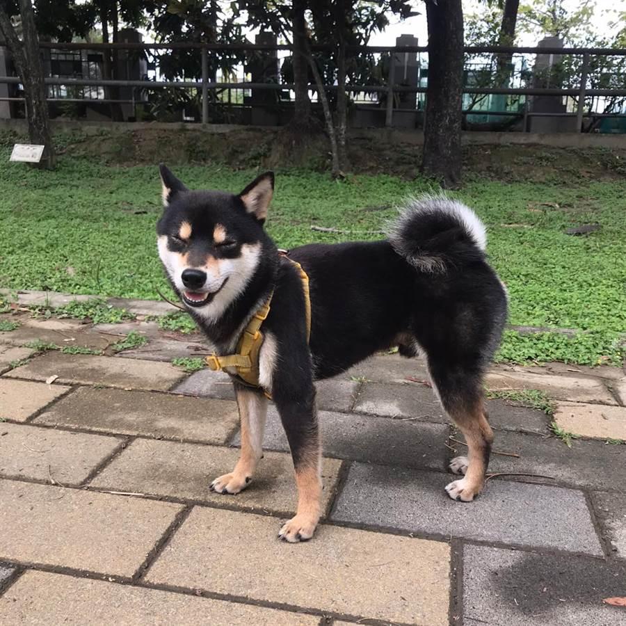 最萌柴犬微笑(照片來源/歐米魯 OBERU粉專)