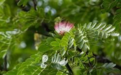 搶救見效 台南左鎮化石園區雨豆樹含苞待放