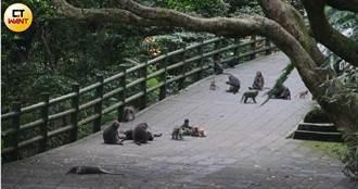 【陽明山大王1】拆家奪雞拔農作 直擊500獼猴霸凌商家