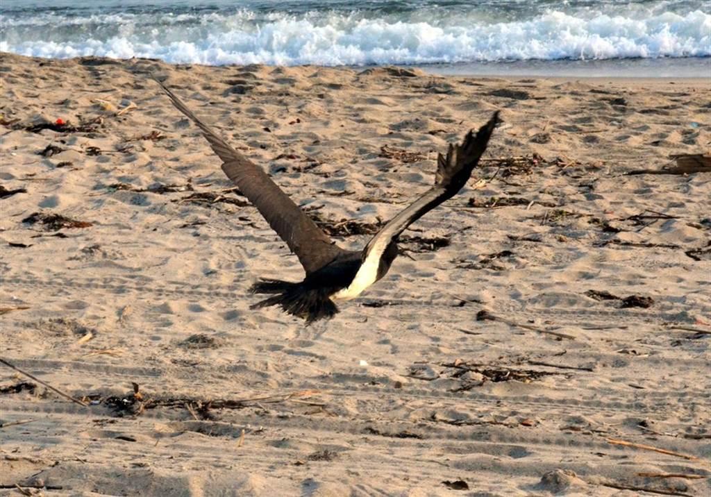 白腹鰹鳥「妹妹頭」奮力振翅衝向大海,乘著海風回到熟悉的環境。(台北市立動物園提供)