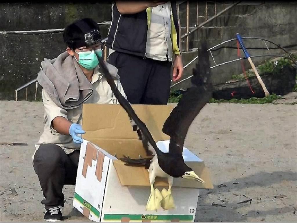 白腹鰹鳥毫不猶豫,衝出運送紙箱、振翅飛向大海。(台北市立動物園提供)