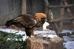 捕到老鼠不忍殺放生 老鷹飛撲溫馨畫面變調