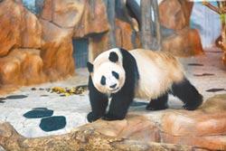 廣西南寧大熊貓 上線吸粉當網紅