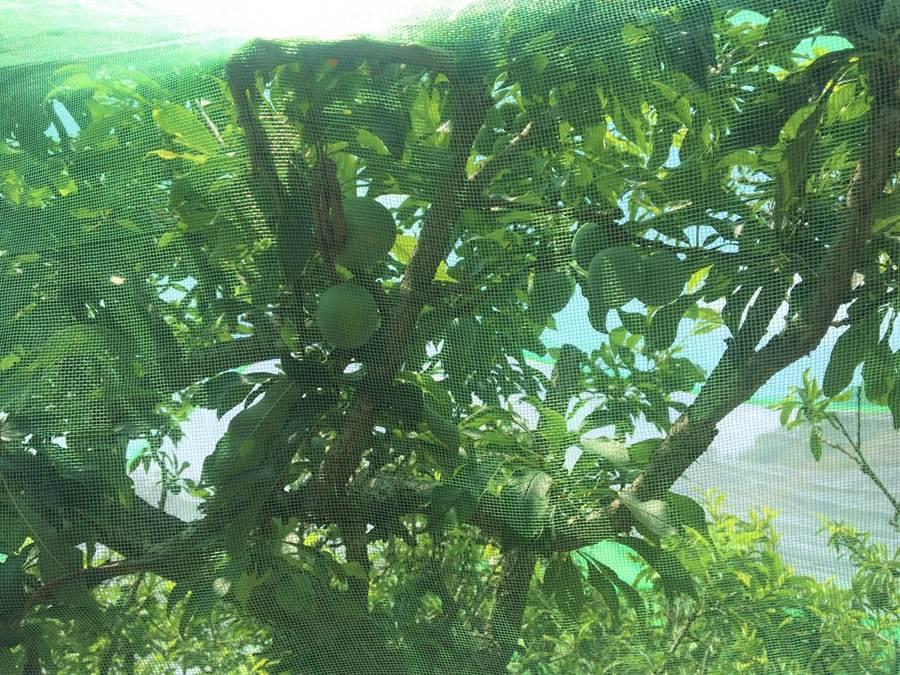 大湖鄉紅肉李邁入產季,今年產量受氣候異常影響,大湖公所呼籲民眾嘗鮮要快。(大湖鄉公所提供/巫靜婷苗栗傳真)