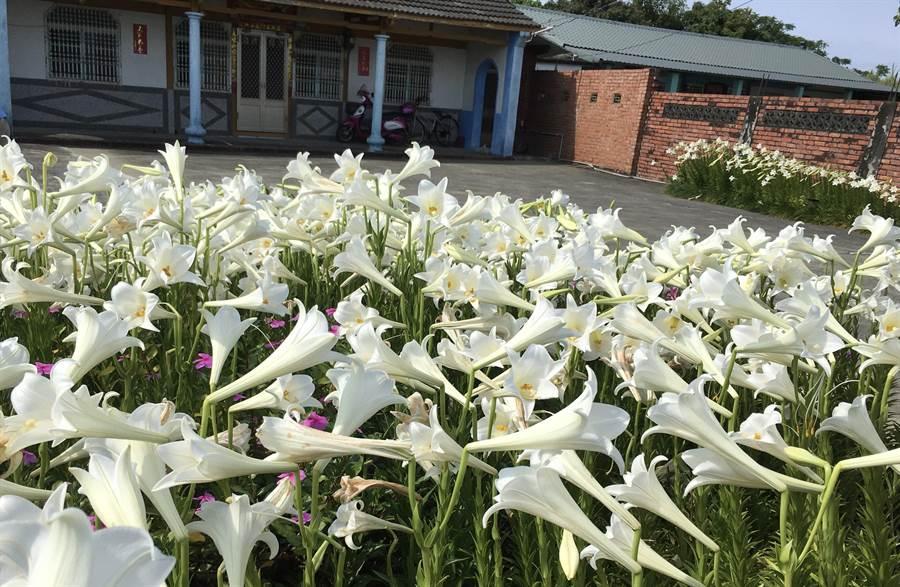蘇蔡阿嬤悉心種植的鐵砲百合是每年5月新港鄉板頭村的一大亮點之一。(張亦惠攝)