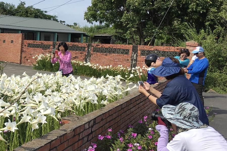 大片百合花海吸引不少民眾前來拍攝、賞花。(張亦惠攝)